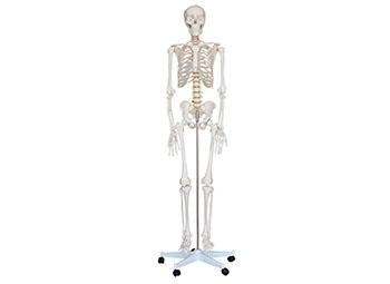人体骨架模型180CM