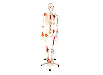 人体骨骼附肌肉着色及韧带模型