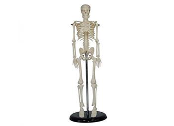 全身骨骼模型45CM