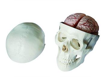头颅骨模型
