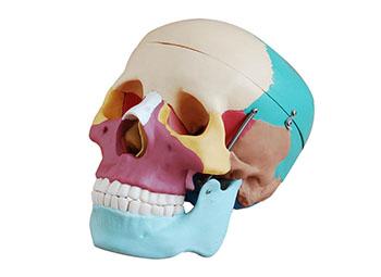 人体头骨模型,彩色自然大头骨模型