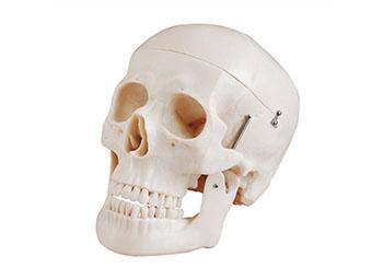 自然大颅骨模型