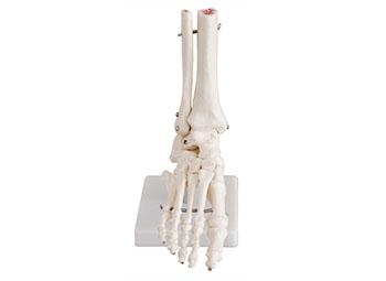 脚关节模型