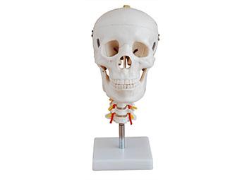 头骨带脊椎模型
