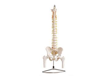 人体脊椎骨骼模型
