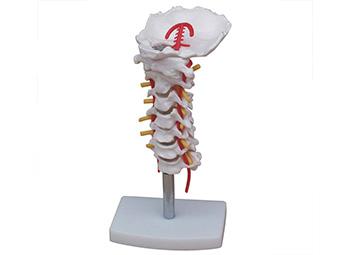 颈椎模型,颈椎带颈动脉模型