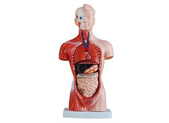 人半身躯干模型