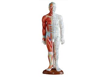 中医针灸模型(55CM男性带肌肉解剖)