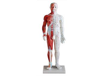 人体经络模型(60CM男性带肌肉解剖)
