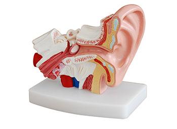 耳朵解剖模型(放大1.5倍)