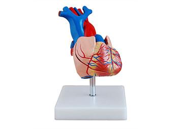 心脏模型(自然大)