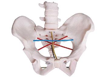 骨盆测量示教模型