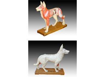 狗体针灸模型
