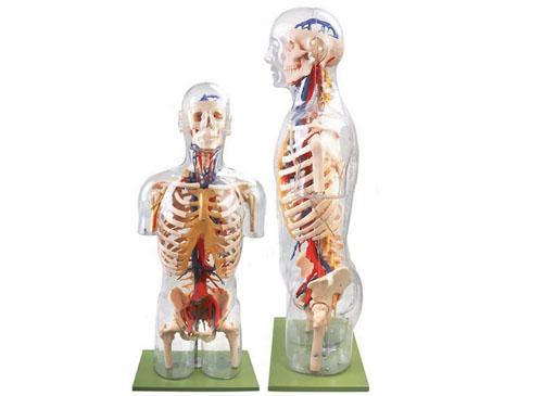 透明半身躯干附主要血管神经模型