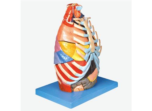 胸腔解剖模型