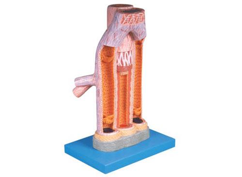 动脉与静脉解剖放大模型