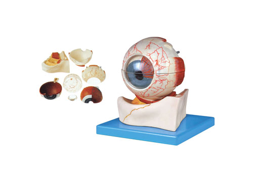 眼球构造放大模型