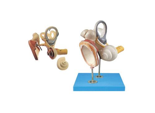 内耳、听小骨及骨膜放大模型