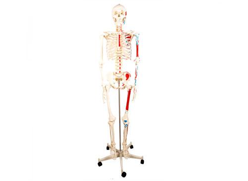 人体骨骼附半边肌肉着色模型180CM