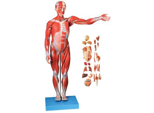 人体全身肌肉附内脏模型(缩小模型)