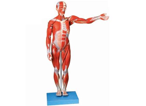 人体全身肌肉解剖模型(缩小模型)