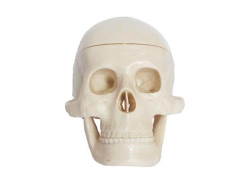 婴儿头骨模型