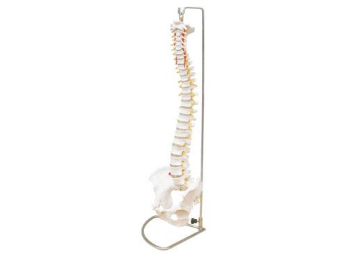 脊椎骨模型