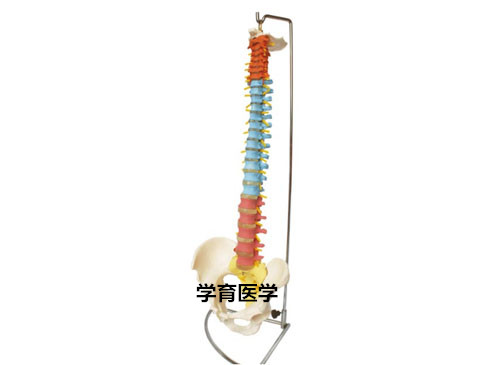 人体脊椎模型