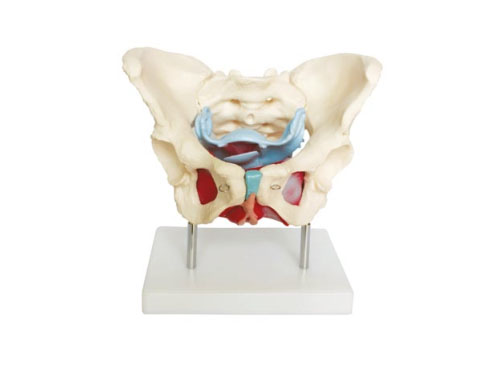 女性骨盆及盆底肌肉模型