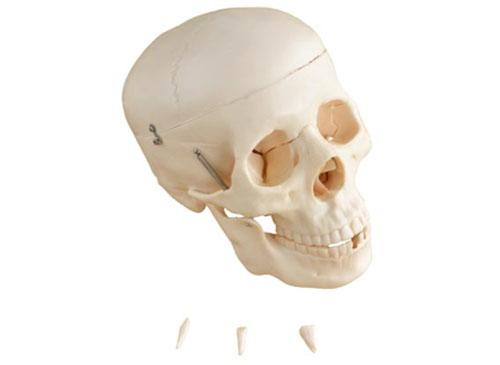 自然大头骨模型