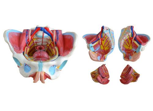 女性生殖器模型