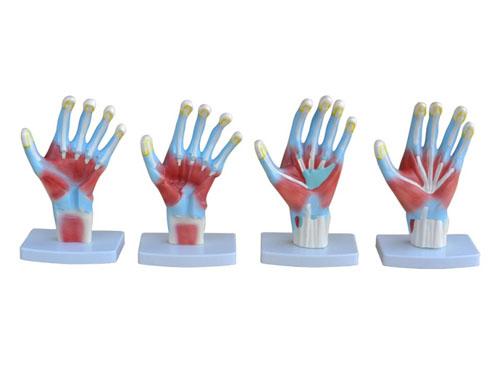 手掌解剖模型