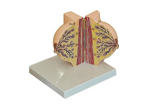 静止期女性乳房解剖模型