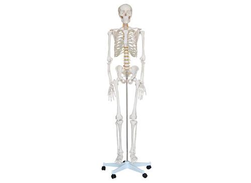 女性人体骨架模型