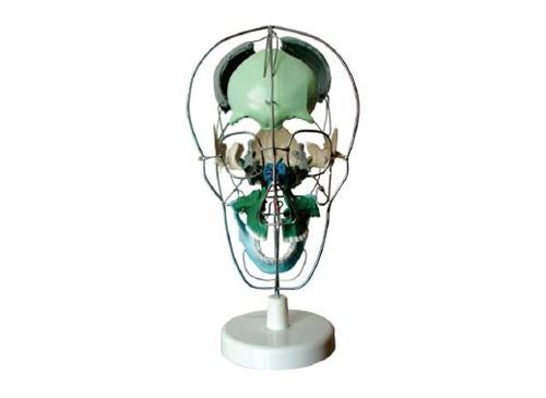 颅骨骨性分离着色模型