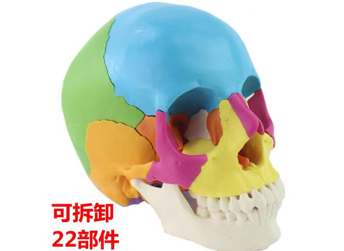 22部件彩色头颅骨模型