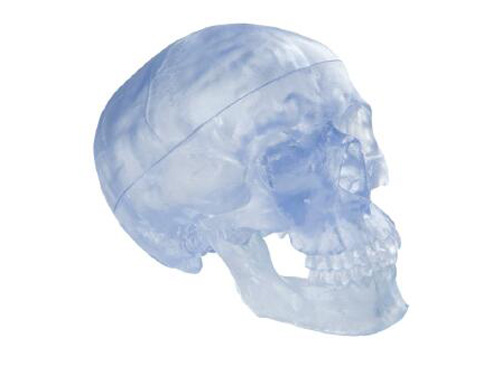 透明头颅骨模型